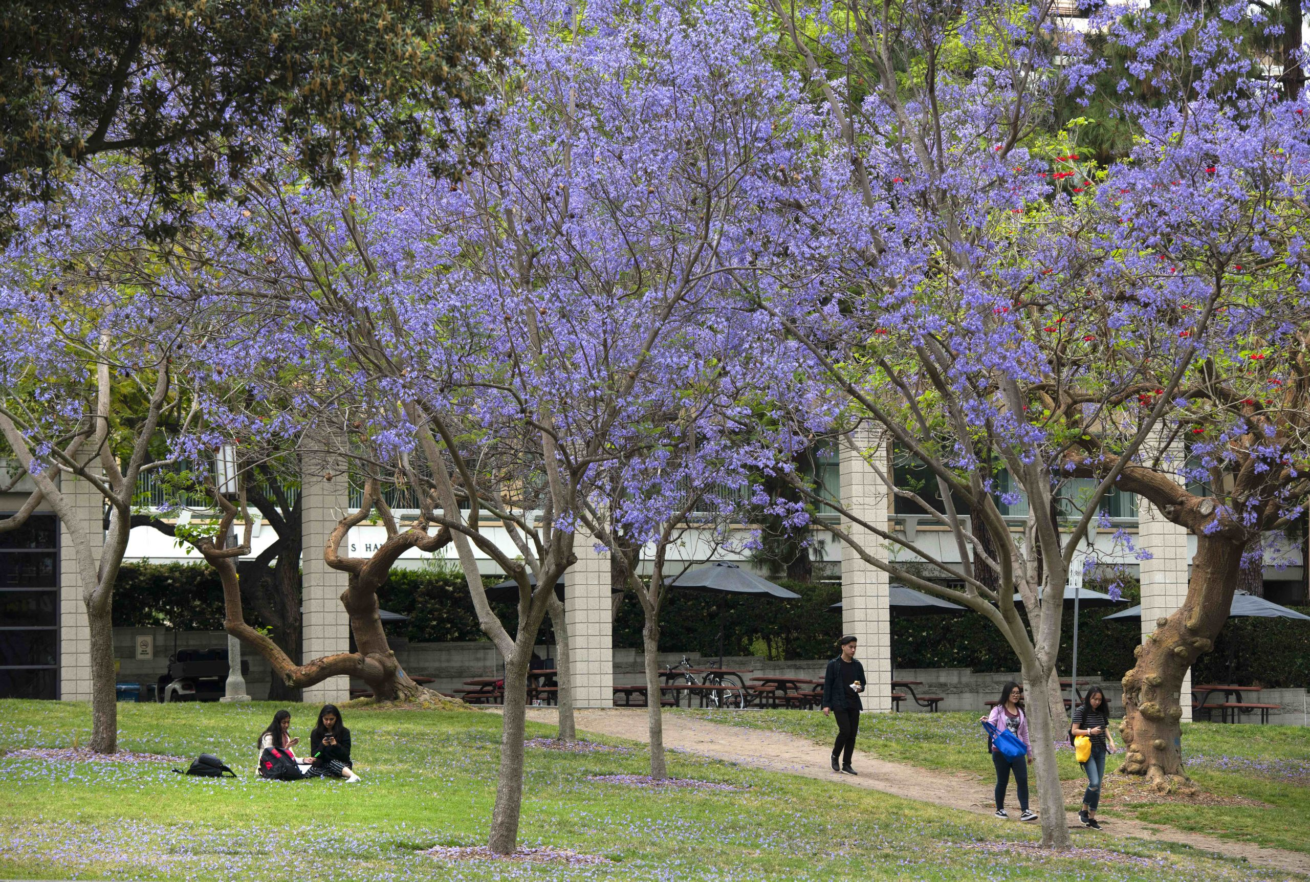 aldrich park with students walking and sitting under jacaranda trees